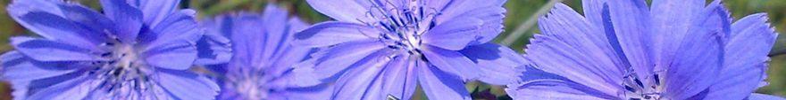 Cichorium_intybus_extracts_vemocorp