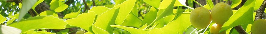 Ginkgo_biloba_extracts_plant_vemocorp